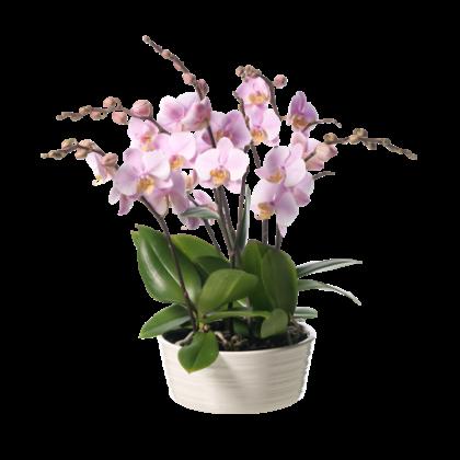 Den feminine orkidé