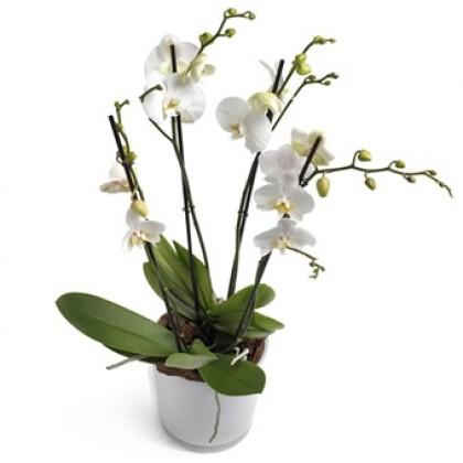 Orkidé i orkidé-krukke